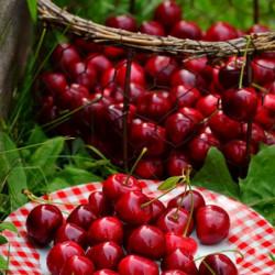 Prunus avium 'Cherry baby'