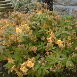 Azalea mollis 'Golden sunset'