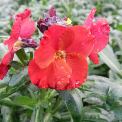 Erysimum 'Winter passion'