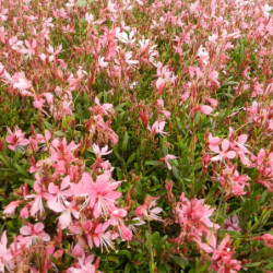 Gaura 'Summer Star Baby'