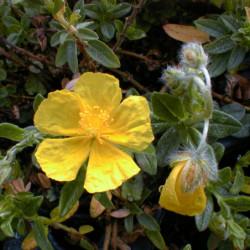 Helianthemum 'Wisley Primrose'