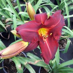Hemerocallis 'Oriental ruby'