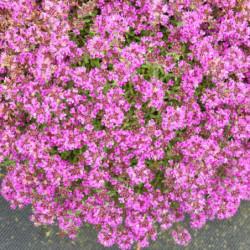 Thymus praecox 'Minor'