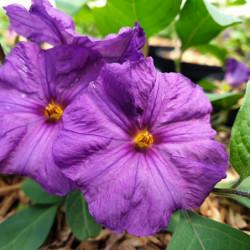 Solanum rantonnetti 'Royal...