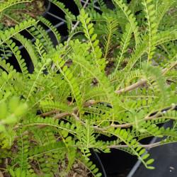 Sophora microphylla...
