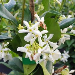 Trachelospermum jasminoides...