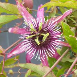 Passiflora caerulea 'Rubra'