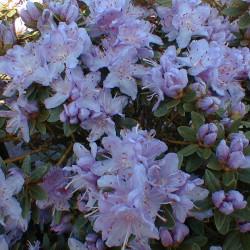 Rhododendron impeditum