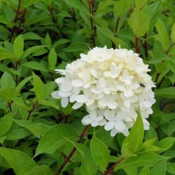 Hydrangea paniculata...