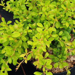 Berberis thunbergii 'Golden...