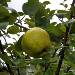 Cydonia oblonga 'Mammouth'