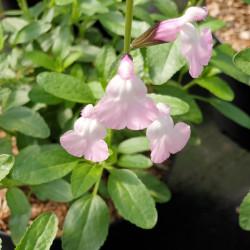 Salvia microphylla 'Anduus'