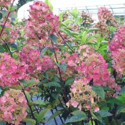 HORTENSIA Framboisine - en pleine Floraison