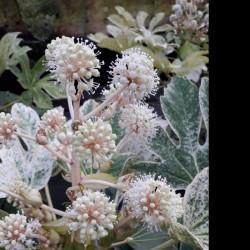 Fleur du FATSIA japonica Spider Web
