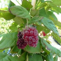 Rubus 'Medana Tayberry'