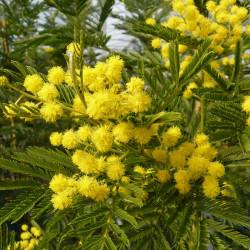 Acacia dealbata 'Gaulois...