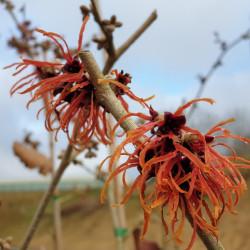 Hamamelis × intermedia...