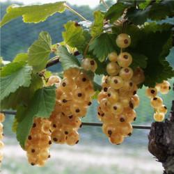 Ribes rubrum 'Versaillaise...