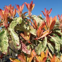 Photinia serratifolia...