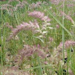 Pennisetum orientale...