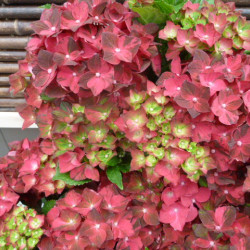 Hydrangea macrophylla...