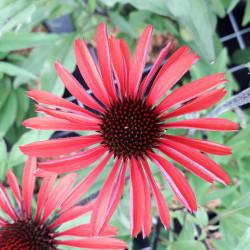 Echinacea × purpurea...