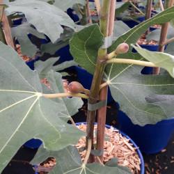 Ficus carica 'Figality' ®