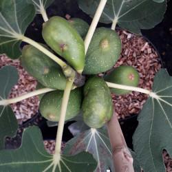 Ficus carica 'Goutte d'Or'