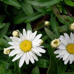 Leucanthemum × superbum...
