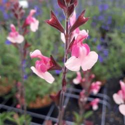 Salvia microphylla 'Shell...