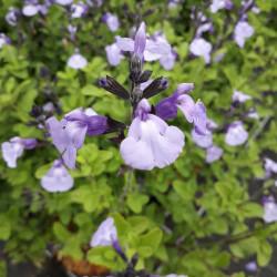 Salvia 'So cool pale blue'