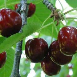 Prunus avium 'Géant...