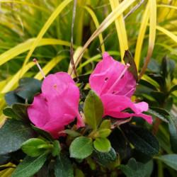 Azalea japonica 'Anna Frank'