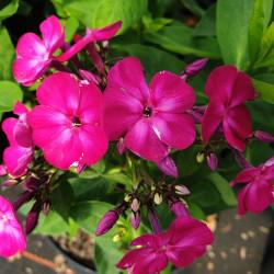 Phlox paniculata 'Famous...
