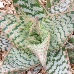Aloe rauhii Cleopatra