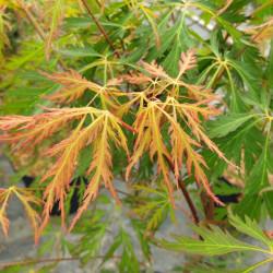 Acer x pseudosieboldianum...