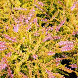 Calluna vulgaris 'Winter...
