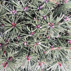 Pinus mugo 'Miniglobus'