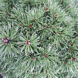 Pinus mugo 'Prof. Scholz'