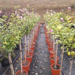 Hibiscus syriacus Tricolore