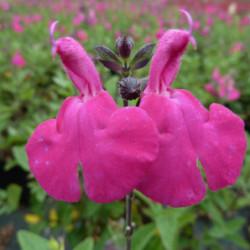 Salvia microphylla 'Cerro...
