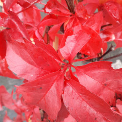 Parthenocissus quinquefolia...