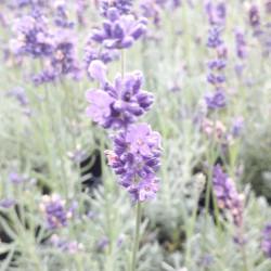 Lavandula angustifolia...