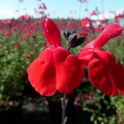 Salvia microphylla 'Royal...