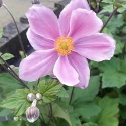 Anemone × hybrida 'Konigin...