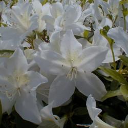 Azalea japonica 'Palestrina'