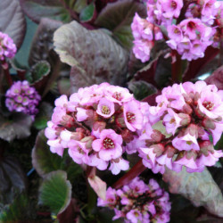 Bergenia 'Eden's Dark Margin'