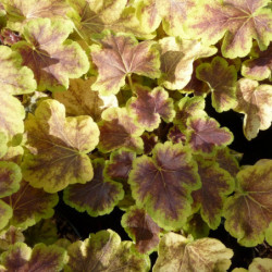 × Heucherella 'Solar Eclipse'